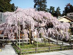 栃木市太山寺しだれ桜